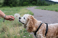Cocker Spaniel dog sniffing dandelion. In the mountains wearing a harness Royalty Free Stock Photography