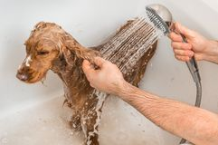 Cocker spaniel dog taking a shower with shampoo and water. English cocker spaniel dog taking a shower with shampoo, soap and water in a bathtub royalty free stock photos