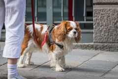 A cocker spaniel dog walking with owner on the street stock photo