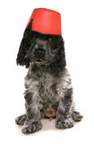 Cocker spaniel dog wearing a fez hat Stock Photography