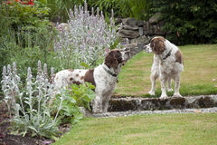 Cocker Spaniel dogs in the garden Stock Images