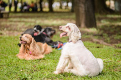 Cocker Spaniel Dogs group. Resting Royalty Free Stock Image