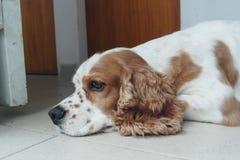 Cocker spaniel en el piso Foto de archivo