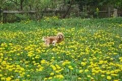 Cocker Spaniel está caminando en el campo con la flor fotografía de archivo libre de regalías