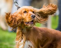 A cocker spaniel face portrait with its ears flying in the air stock photography