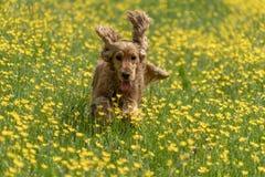 Cocker spaniel feliz que corre en el campo amarillo de la margarita imagenes de archivo