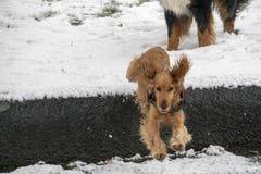 Cocker spaniel feliz que corre en la nieve imagenes de archivo