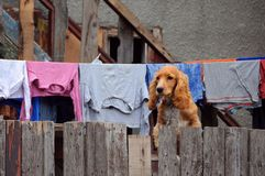 Cocker-spaniel on the Fence. Cute cocker-spaniel sits on the wooden fence stock image