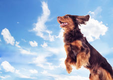 Cocker spaniel flies up. A cocker spaniel flies up Royalty Free Stock Photography