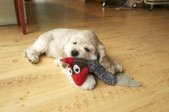 Cocker Spaniel full body pose playing with a dog toy. Stock Photos