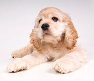 Cocker Spaniel full body pose. Stock Image