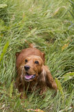 Cocker spaniel in the grass. Cocker Spaniel playing in the tall grass Stock Photo
