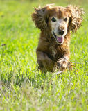Cocker spaniel on a green lawn Stock Photos