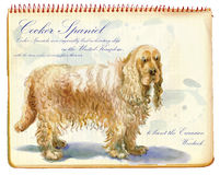 Cocker Spaniel - An hand painted illustration Stock Photo