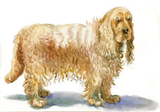 Cocker Spaniel - An hand painted illustration Stock Image