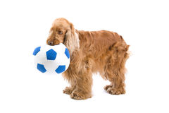 Cocker Spaniel holding a ball Royalty Free Stock Image