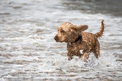 Cocker spaniel-Hund, der im Meer spielt Lizenzfreies Stockfoto