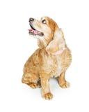 Cocker spaniel-Hund, der weg zur Seite schaut Stockbilder