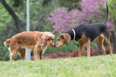 Cocker spaniel and hunt dog meet at the park. Stock Photo