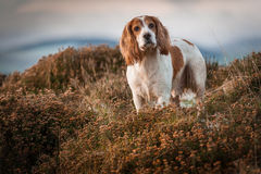 Cocker Spaniel Hunting. In scottish gorse for pheasants stock photography