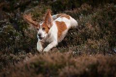 Cocker Spaniel Hunting Stock Photos