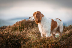 Cocker Spaniel Hunting. In scottish gorse for pheasants royalty free stock photos