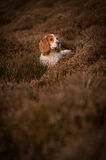 Cocker Spaniel Hunting Royalty Free Stock Images