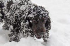 Cocker spaniel joven negro hermoso, perro que juega en la nieve Fotos de archivo libres de regalías