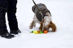 Cocker spaniel juega la bola en la calle imagen de archivo libre de regalías