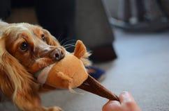 Cocker spaniel juguetón con su nuevo juguete preferido imágenes de archivo libres de regalías
