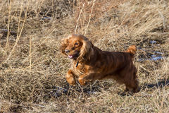Cocker Spaniel jumping Stock Photography