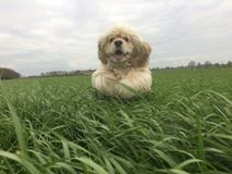 Cocker Spaniel jumping in field of long grass. Royalty Free Stock Photos
