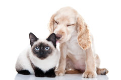 Cocker Spaniel and Kitten. Portrait of a Cocker Spaniel licking a Siamese kitten stock images