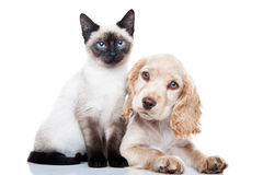Cocker Spaniel and Kitten. Portrait of a Cocker Spaniel and a Siamese kitten Royalty Free Stock Images