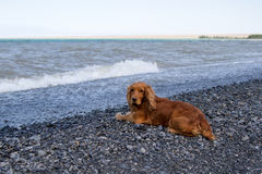Cocker Spaniel. On the lake Alakol royalty free stock image
