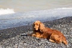 Cocker Spaniel. On the lake Alakol Stock Photos