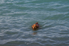 Cocker Spaniel. On the lake Alakol Royalty Free Stock Photo