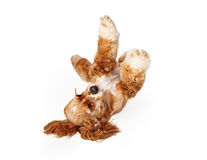 Cocker Spaniel Laying on Back Royalty Free Stock Photo