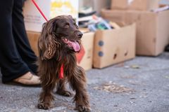 Cocker Spaniel on a leash. Person in the background with boxes filled with items stacked stock photo