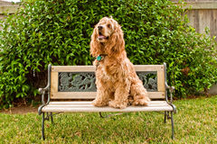 Cocker Spaniel on little garden bench Stock Photography