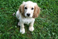 Cocker Spaniel. A little puppy is fun playing on the grass and perfectly posing in front of the camera. Photographs with original lighting are great for stock image