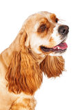 Cocker Spaniel Long Eyelashes Royalty Free Stock Images