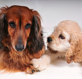 Cocker Spaniel and long hair dachshund. Cocker Spaniel puppy touching a dachshund with his paw Royalty Free Stock Photos