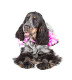 Cocker spaniel lying Royalty Free Stock Photography