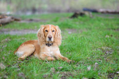 Cocker Spaniel. Lying on green grass Royalty Free Stock Image