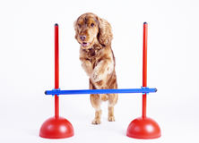 Cocker Spaniel male dog, 1 year old. Brown colored jumping over a hurdle at dogsport, image on white background stock photos