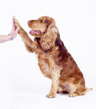 Cocker Spaniel male dog give five, 1 year old Stock Images