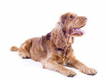 Cocker Spaniel male dog lying down, 1 year old Stock Image