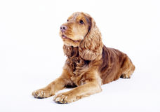 Cocker Spaniel male dog lying down, 1 year old. Cocker Spaniel male dog, 1 year old, brown colored lying down in front of white background stock photos
