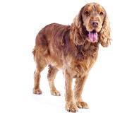 Cocker Spaniel male dog standing, 1 year old Stock Photos